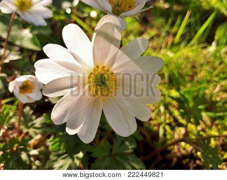 Translucent Anemone Blanda White Splendour Flower - Close-up