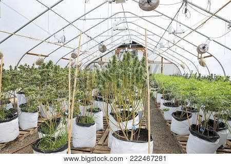 Marijuana plants at a legal cannabis grow facility in Oregon.