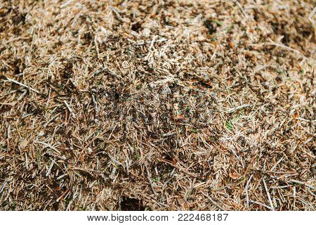 View from above of anthill colony with large group of insect workers on the dried soil with dried plants