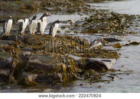 Gentoo Penguin (Pygoscelis papua) heading to sea early in the morning on a rocky kelp strewn beach on Bleaker Island in the Falkland Islands.