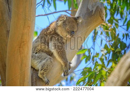 Close up of adult male koala, Phascolarctos cinereus, sleeps lying on branch of eucalyptus in Yanchep National Park in Western Australia. Yanchep has been home to a colony of koalas since 1938.