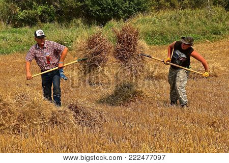 ROLLAG, MINNESOTA, Sept 2, 2017: Several unidentified men carry bundles of wheat ready for threshing  at the annual WCSTR farm show in Rollag held each Labor Day weekend where 1000's attend.