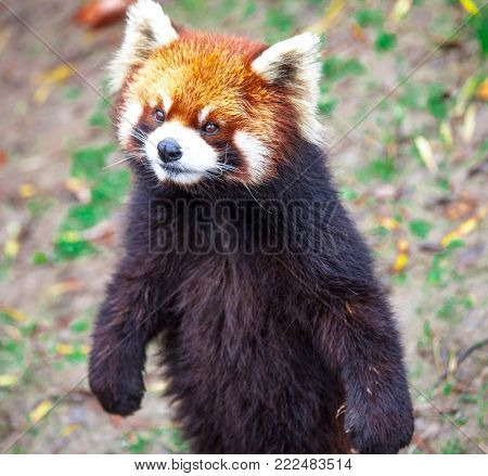 Red Panda. Red Panda stands on its hind legs.Red Panda closeup