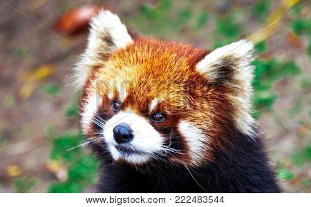 Face the red Panda. The male red Panda on the meadow . China
