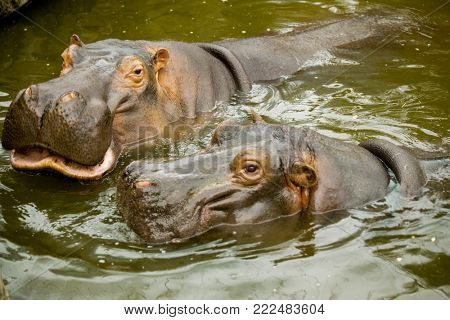 A pair of ferocious African hippos. The hippos opened their mouths waiting for food.
