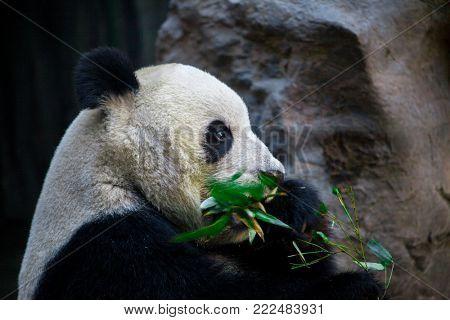Giant Panda close-up. Panda eating shoots of bamboo
