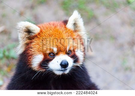 Face the red Panda. The male red Panda on the meadow . China.