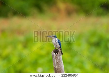 White Collared Kingfisher bird (Tree kingfisher, Mangrove kingfisher) in blue with while underparts perching on bamboo stick with blurred green background in Thailand, Asia