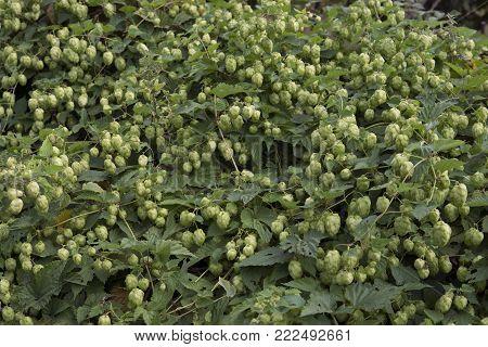 detail of hop cones in the hop field, Georgia