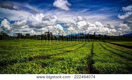 Panoramic view to tea plantation at Waga valley near Mount Hagen, Papua new Guinea