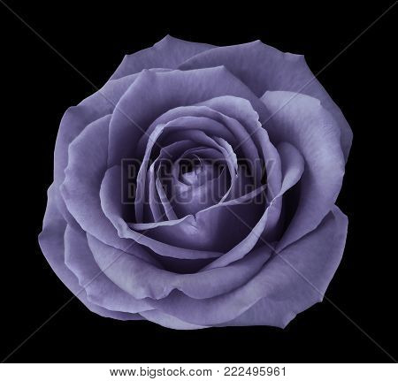 Violet rose on the black  isolated background with clipping path.  no shadows. Closeup. Nature..