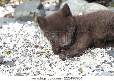 Puppy Commanders blue arctic fox which lies on the sand on the seashore in the vicinity of the burrow
