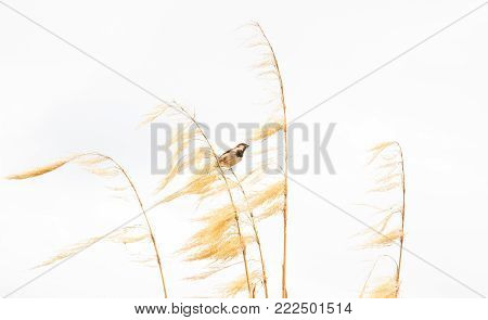 Picturesque Bird picture, a sparrow perches on dry gold Pampas grass with food in its mouth with white background.