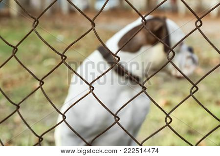 Cute white Boxer dog outdoors, view through chain link fence. Pet adoption