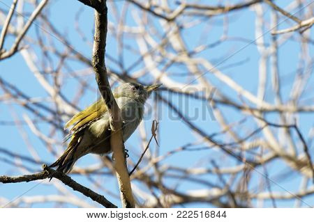 European green woodpecker (Picus viridis)  on a branch with a blue background Ukraine, 2018. Blue sky in the background. A green woodpecker is searching for fodder. Natural forest background