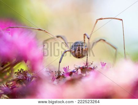 wide angle extreme perspective macro close up of a daddy long legs or harvestman spider on pretty ping flowers  poster