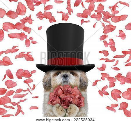 Valentines shitzu dog in a high hat cylinder with roses -- isolated on white