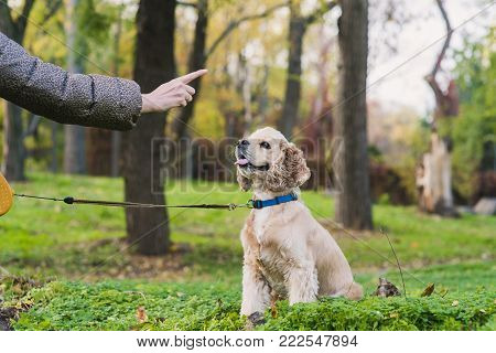 Woman training her dog in park. American cocker spaniel dog is sitting and looking at the girl's hand. Woman pointing finger at dog.