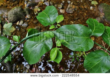Green Himalayan Honeysuckle Leaves Over a River