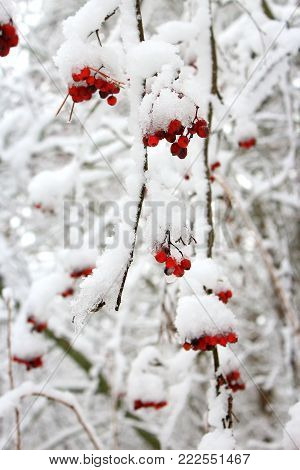 Drops of water on the red berries. Rowan berries on a branch. Rowan in the cold. Frozen berries. Red berries in the snow. The snow on the berries. Berries in winter. Rowan tree covered with snow