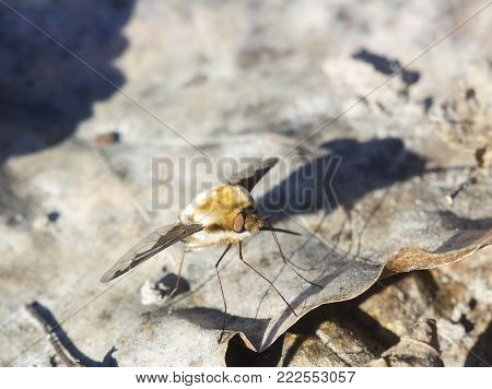 Hairy fly with long proboscis Bombylius major, Large Bee-fly