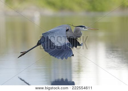 Great Blue Heron (Ardea herodias) in flight - Estero Island, Florida