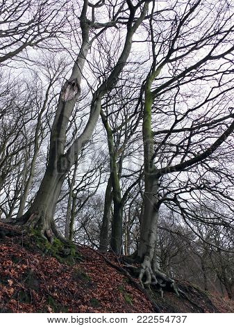 stark tell winter trees with twisted branches in hillside forest