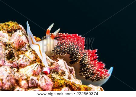 An underwater snail called Hilton's aeolid crawls on a reef in California's Channel Islands