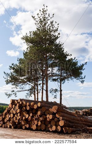 A few green living pines and folded heap of felled pine logs in front of them.