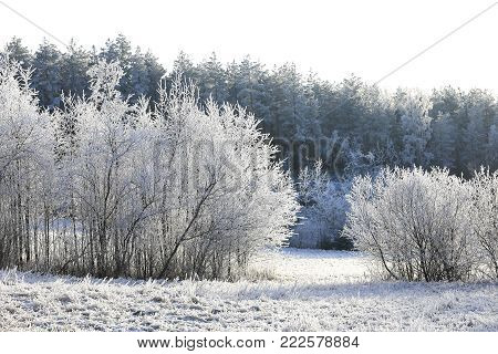 White winter day landscape with hoarfrost on trees and grass.