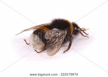 The Bumblebee (Bombus terrestris) turned back isolated on white background. Close-up