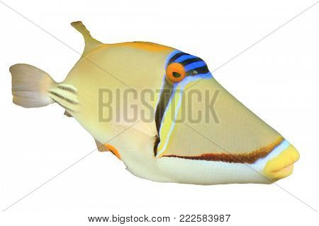 Picasso fish isolated on white background. Picasso fish, Picasso Triggerfish