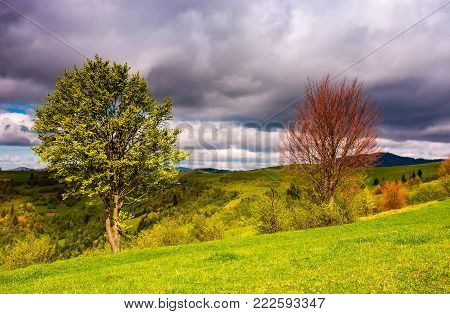 two trees on a grassy slope in springtime. lovely nature scenery in mountainous rural area