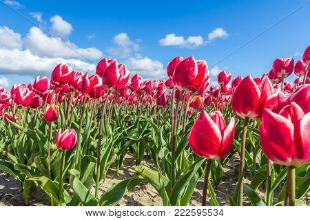 closeup of tulips in Dutch spring flower field