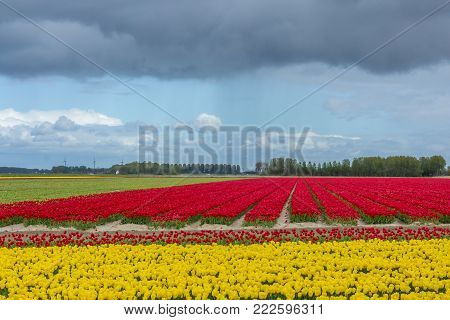 typical Dutch flower field in the spring