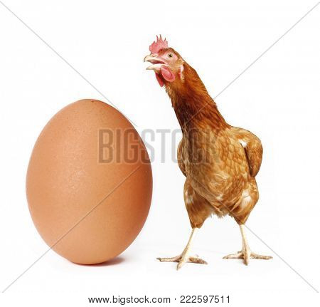 Hen behind a big egg isolated on white background.
