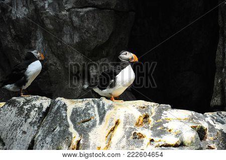 Atlantic Puffin sea bird penguin over cliffs