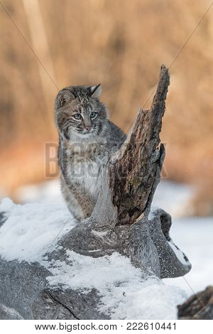 Bobcat (Lynx rufus) Sits Next to Broken Off Branch - captive animal