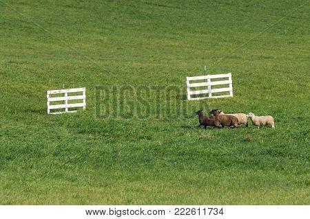 Quartet of Sheep (Ovis aries) Run Towards Gates - at sheep dog herding trials