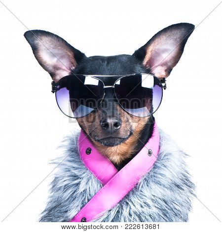 Dog in the clothes of a skier, a fur jacket and glasses. Active way of life, sport. Portrait of a dog isolated. Fashionable winter clothes on a dog