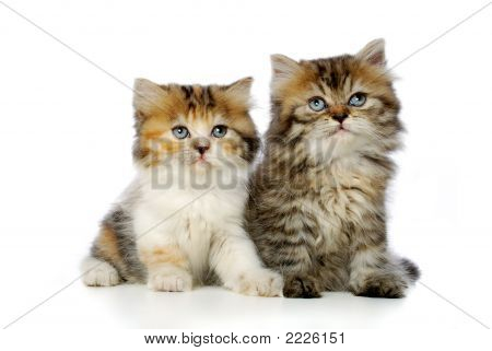 Two romantic cute kitten over the white background poster