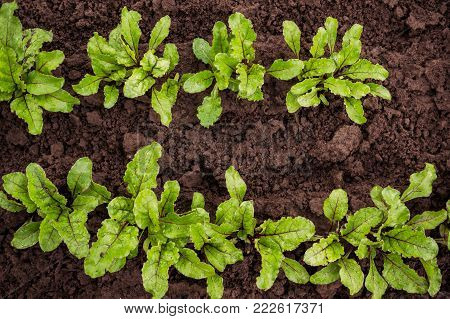 The seedling beet growing in a transparent container on the window in the earthen soil in a Sunny day for planting in an urban garden. Eco-friendly products. The horizontal frame. .