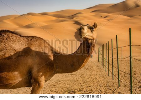 one Camel in Liwa Abu Dhabi UAE Desert