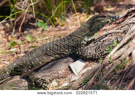 Goanna around the beach in Bribie Island, Brisbane, QLD, Australia