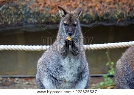 Cute looking red-necked wallaby eating a carrot