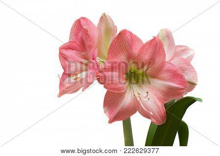 pink amaryllis close up. isolated on white background