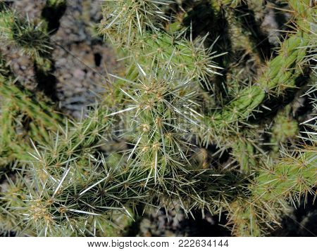 Cholla Jumping Cactus, Cylindropuntia fulgida, the jumping cholla, also known as the hanging chain cholla, is a cholla cactus native to Sonora and the Southwestern United States.
