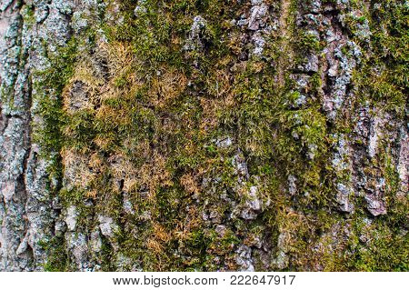 Texture of the trees bark cowered with moss
