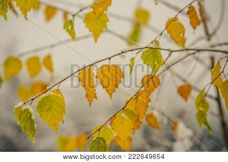 Snow on tree branches with yellow leaves on grey sky background. Snowfall, freezing, cold snap, temperature. Late fall or early winter nature. Christmas, xmas, new year, eve, holidays celebration.