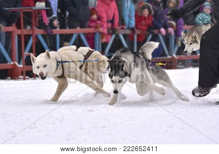 The team of sled dogs is powerful and swiftly starts on races